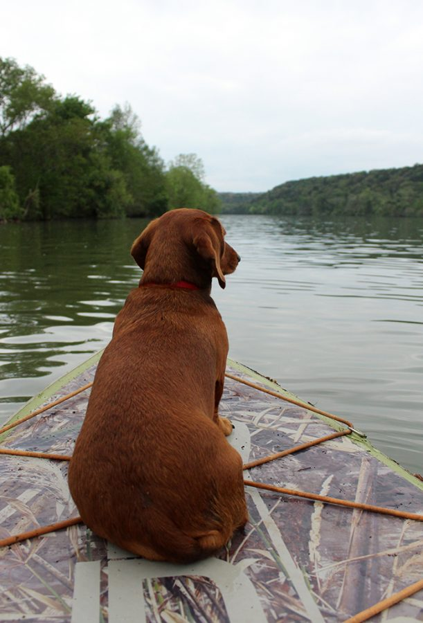 Daushund Oliver admires the tranquility of Lake Austin while paddleboarding April  6. Paddleboarding acts as a great way to get outdoors during times of the corona virus because it allows individuals to easily maintain distance on seperate paddleboards.